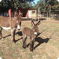 Adopt A Pet :: Tilly - Austin, TX