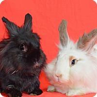 Adopt A Pet :: Rachel - Chicago, IL