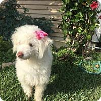 Adopt A Pet :: Princess - Capistrano Beach, CA