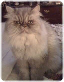 Persian Cat for adoption in Columbus, Ohio - Misty