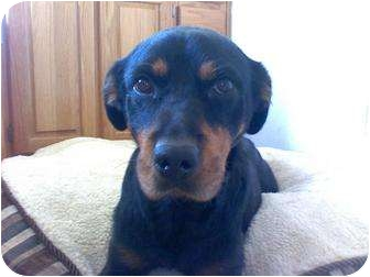 Rottweiler Mix Dog for adoption in Fresno, California - Wilma