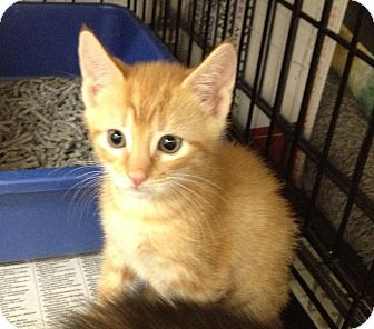 Domestic Shorthair Kitten for adoption in Island Park, New York - Dale