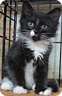 Domestic Mediumhair Kitten for adoption in Seminole, Florida - Iean