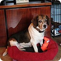 Adopt A Pet :: CeCe - Novi, MI