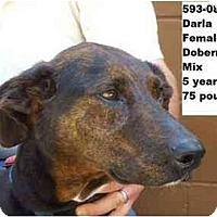 Adopt A Pet :: Darla - RESCUED! - Zanesville, OH