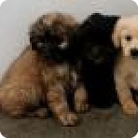 Adopt A Pet :: Chewbacca - Shawnee Mission, KS