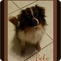 Adopt A Pet :: Bobo - Weeki Wachee, FL