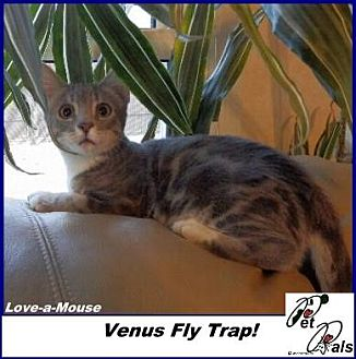 Domestic Shorthair Kitten for adoption in Hawk Springs, Wyoming - Love-a-Mouse!