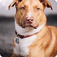 Adopt A Pet :: Roman - Portland, OR
