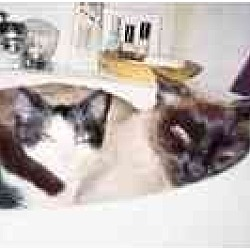 Photo 1 - Siamese Cat for adoption in New York, New York - Mina