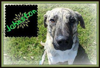 Catahoula Leopard Dog/Labrador Retriever Mix Dog for adoption in Missouri City, Texas - Johnston