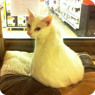 Domestic Shorthair Cat for adoption in Lake Elsinore, California - Mew