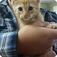 Adopt A Pet :: Chitlins - Putnam, CT