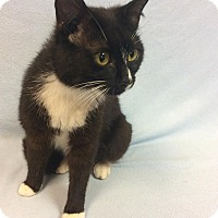 Domestic Shorthair Cat for adoption in Moody, Alabama - Cass