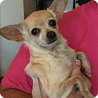 Chihuahua Mix Dog for adoption in Blanchard, Oklahoma - Perkins