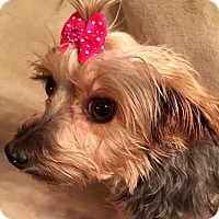 Adopt A Pet :: Miz Fiona - Sinking Spring, PA