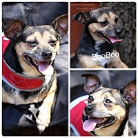 Adopt A Pet :: BooBoo - Fort Worth, TX