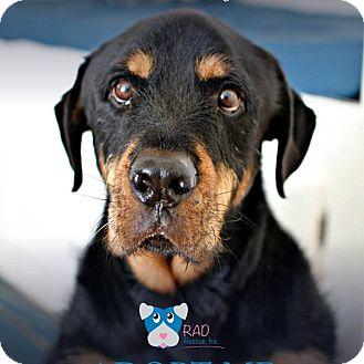 Rottweiler Mix Dog for adoption in Tucson, Arizona - Obi