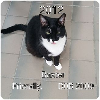 Domestic Shorthair Cat for adoption in Smithtown, New York - Baxter