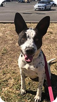 Border Collie Mix Dog for adoption in Willows, California - JACKIE