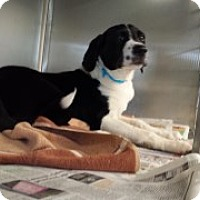 Labrador Retriever/Border Collie Mix Puppy for adoption in Joplin, Missouri - Edward Vtg  4627