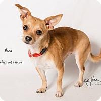 Chihuahua Dog for adoption in Chino Hills, California - Anna - Claremont