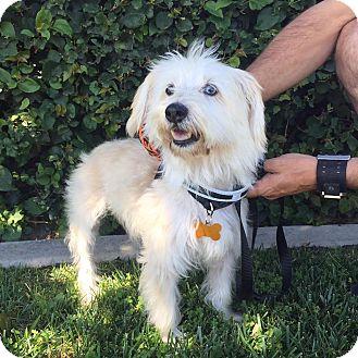 Maltese/Terrier (Unknown Type, Medium) Mix Dog for adoption in La Verne, California - Stella