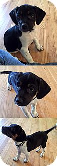 Beagle/Springer Spaniel Mix Puppy for adoption in Chantilly, Virginia - Sally's Pup Linus