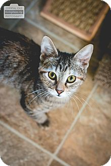 Domestic Shorthair Kitten for adoption in Leander, Texas - Melody