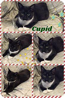 Domestic Mediumhair Kitten for adoption in Ravenna, Texas - Cupid