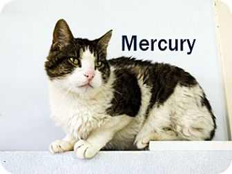 American Shorthair Cat for adoption in Hamilton, Montana - Mercury