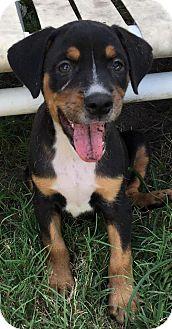 Terrier (Unknown Type, Medium) Dog for adoption in West Palm Beach, Florida - Gemini
