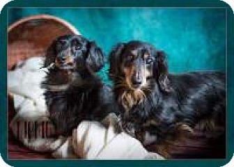 Dachshund Mix Dog for adoption in Clackamas, Oregon - Frankie and Charlie