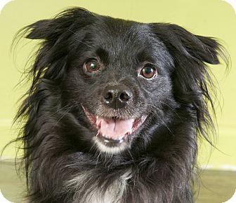 Spaniel (Unknown Type) Mix Dog for adoption in Chicago, Illinois - Georgio