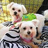 Maltese Dog for adoption in Cottonwood, Arizona - Princess/Sunny