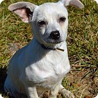 Adopt A Pet :: COME MEET Ren - Westport, CT