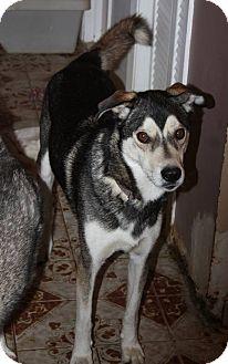 Siberian Husky/Greyhound Mix Dog for adoption in Cavan, Ontario - Nanook