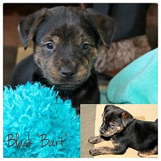American Bulldog/American Pit Bull Terrier Mix Puppy for adoption in Garden City, Michigan - Bart