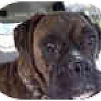 Adopt A Pet :: Stewie - Sunderland, MA