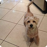 Adopt A Pet :: Juliette - Pembroke pInes, FL