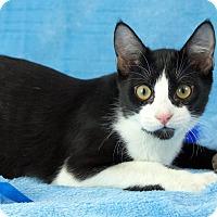 Adopt A Pet :: Oreo - St Louis, MO