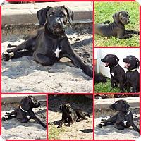 Adopt A Pet :: CHEVRON - Davenport, FL