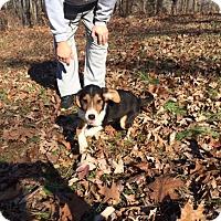 Adopt A Pet :: Doc - Staunton, VA
