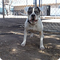 Pit Bull Terrier Mix Dog for adoption in Las Cruces, New Mexico - Cream