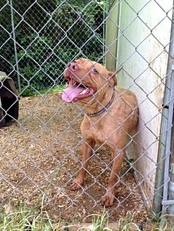 American Pit Bull Terrier Mix Dog for adoption in Cookeville, Tennessee - Reddington