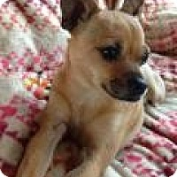 Adopt A Pet :: Corvette - Mount Gretna, PA
