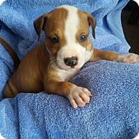 Adopt A Pet :: Duke - Windermere, FL