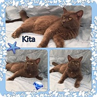 Maine Coon Cat for adoption in Harrisburg, North Carolina - Kita