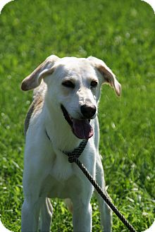 Labrador Retriever/Shepherd (Unknown Type) Mix Dog for adoption in Hawk Point, Missouri - Whitney