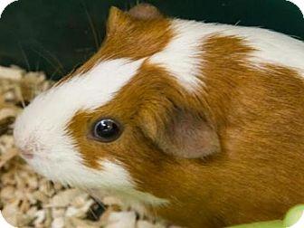 Guinea Pig for adoption in Millersville, Maryland - Dip